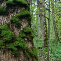 Moss In The Białowieża Forest, Poland