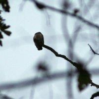 Pygmy Owl In The Bialowieza Forest, Poland