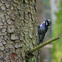 Three-toed Woodpecker In The Bialowieza Forest, Poland