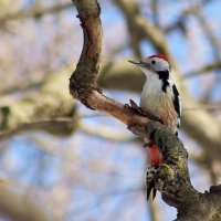 Middle-spotted Woodpecker In The Biebrza Marshes, Poland