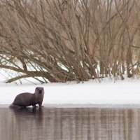 Otter & Beaver In The Biebrza Marshes, Poland