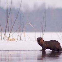 Otter In The Biebrza Marshes, Poland