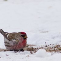 Redpoll In The Biebrza Marshes, Poland