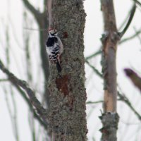 White-backed Woodpecker In The Białowieża Forest, Poland