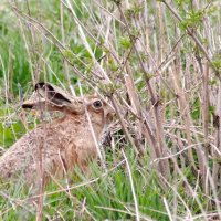 Brown Hare In The Biebrza Marshes, Poland