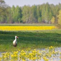 White Storks In The Biebrza Marshes, Poland