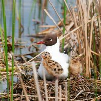 Black-headed Gull With Chicks
