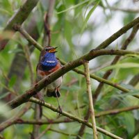 Bluethroat In The Biebrza Marshes, Poland