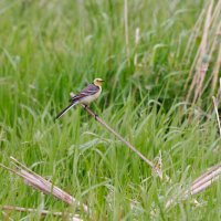 Citrine Wagtail In The Biebrza Marshes, Poland