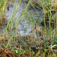 Common Snipe In The Biebrza Marshes