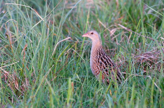 Corncrake In The Białowieża Forest, Poland