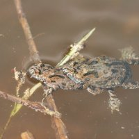 Fire-bellied Toad In The Biebrza Marshes, Poland