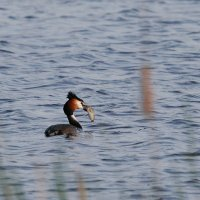 Great Crested Grebe In The Biebrza Marshes, Poland