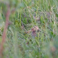 Great Snipe In The Biebrza Marshes, Poland