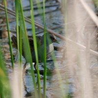 Little Crake In The Dojlidy Fishponds, Poland