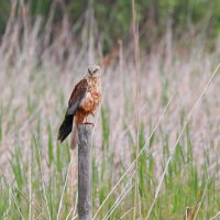 Marsh Harrier In The Biebrza Marshes, Poland