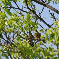 Ortolan Bunting In The Biebrza Marshes