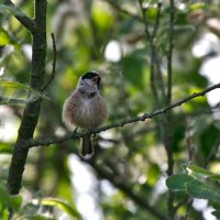 Penduline Tit In The Biebrza Marshes, Poland