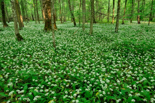 Ramsons In The Bialowieza Forest, Photo By Frederic Demeuse