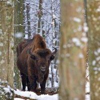 European Bison in the Winter Bialowieza Forest, Poland