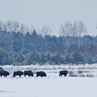 European Bison Herd In The Winter Bialowieza Forest, Poland