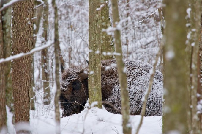 Mammals Of The Białowieża Forest And Biebrza Marshes In Winter – Feb 2012