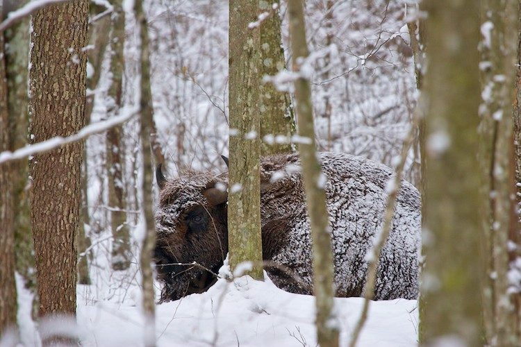 European Bison In The Winter Bialowieza Forest, Poland