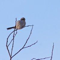 Great Grey Shrike In The Biebrza Marshes, Poland