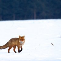 Red Fox On A Hunt In The Biebrza Marshes, Poland