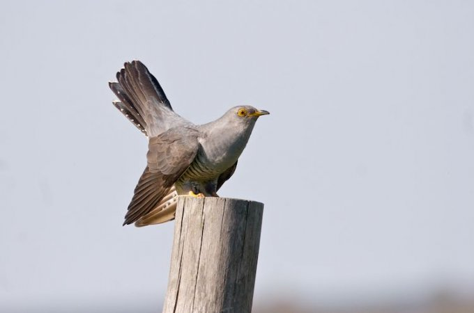 Cuckoo In The Biebrza Marshes, Poland