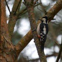 Syrian Woodpecker, Poland