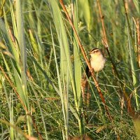 Aquatic Warbler In The Biebrza Marshes, Poland