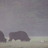 European Bison And White Stork In The Bialowieza Forest, Poland
