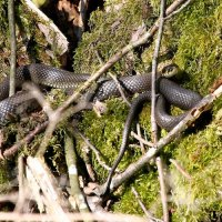 Grass Snake In The Biebrza Marshes, Poland