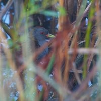 Little Crake In The Biebrza Marshes, Poland