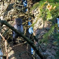Pygmy Owl In The Bialowieza Forest, Poland