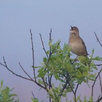 Savi's Warbler In The Biebrza Marshes, Poland