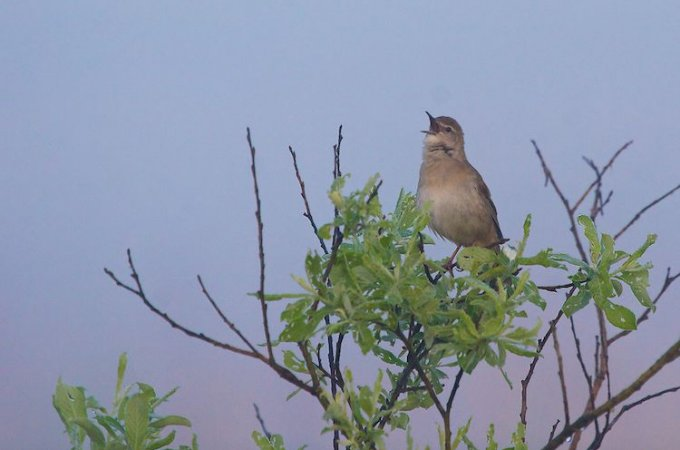 Savi's Warbler In The Biebrza Marshes, Poland