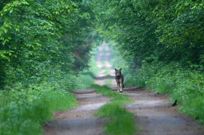 Incredible Wolf Sighting In The Białowieża Forest, Poland