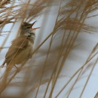 Great Reed Warbler In The Biebrza Marshes, Poland