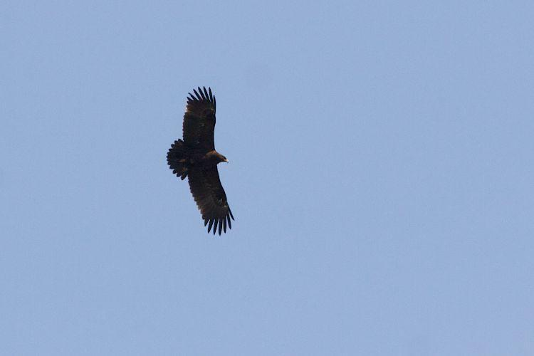 Greater Spotted Eagle In The Biebrza Marshes, Poland