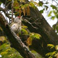 Grey-headed Woodpecker In The Bialowieza Forest, Poland