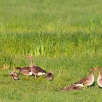 Greylag Geese In The Biebrza Marshes, Poland