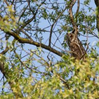 Long-eared Owl In The Biebrza Marshes, Poland