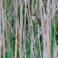Marsh Warbler In The Bialowieza Forest, Poland