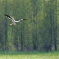 Montagu's Harrier In The Biebrza Marshes, Poland