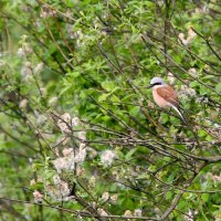 Red-backed Shrike In The Biebrza Marshes, Poland