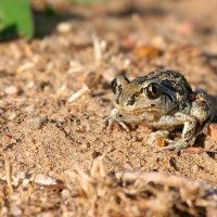 Spadefoot In The Biebrza Marshes, Poland