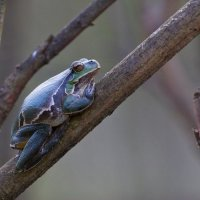 Tree Frog In The Biebrza Marshes, Poland
