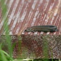 Viviparous Lizard In The Biebrza Marshes, Poland